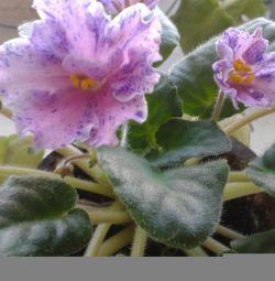 blooming violet Jingles. begonias