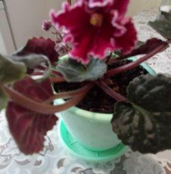 Violete de diferite culori