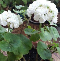 Terry white geranium40cm