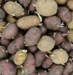 Γάλα πατάτας σπόρων
