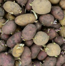 Seed Potato Gala