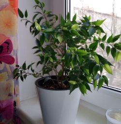 Ficus de frunze mic