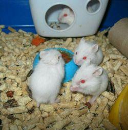 Хомячки белые