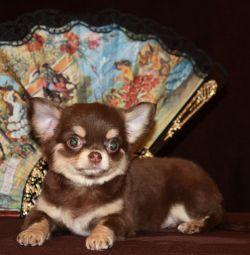 Chihuahua çikolata tabaklanmış