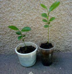Seedling of lemon.