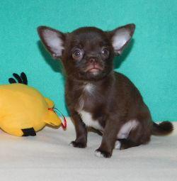 Çikolatalı Bunny Chihuahua Boys