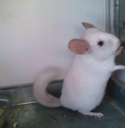 White Chinchilla (boy)