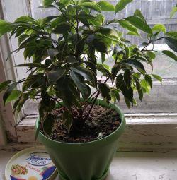 Ficus spike
