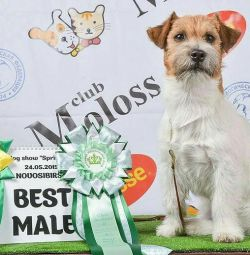 Male for breeding Jack Russell Terrier