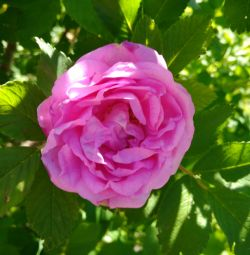 Rosehip a crescut petală