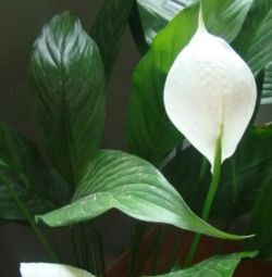 Spathiphyllum - or
