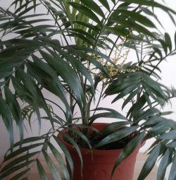 Hamedorea Chamaedorea Bamboo Palm