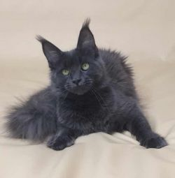Kitty Maine Coon Kittens