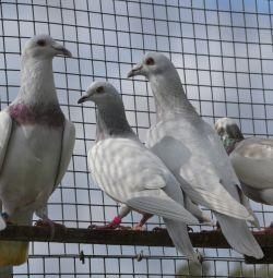 Porumbei - poștale cehe
