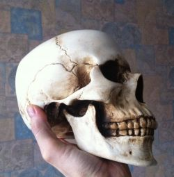 Gypsum skull for artists (copy of the present)
