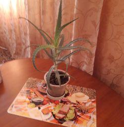 Αλόη με γλάστρες