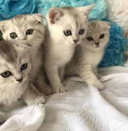Scottish kittens from dad with a pedigree