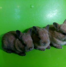 Născociri noi de iepuri ornamentali