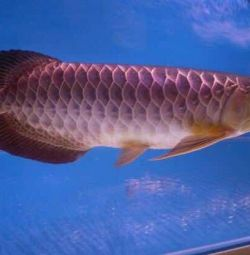 Premium Arowana Fish for sale