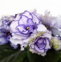 Violet frunze varietale