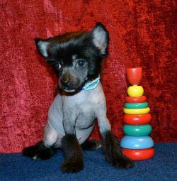 Puppies-boys of the Chinese Crested Dog breed