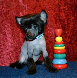 Κουτάβια-αγόρια της κινεζικής φυλής Crested Dog