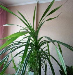 Houseplant Pandanus
