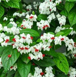 Комнатный цветок.Клеродендрум Томпсона.