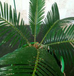 Комнатное растение Цикас