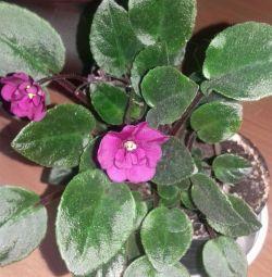 Violet mini