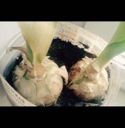 Plante medicinale. Ceapă indiană.