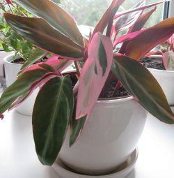 STROMANTA - a bright, unusual plant.