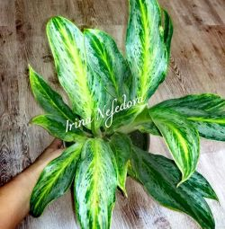 Aglaonema's gorgeous beauties?☝