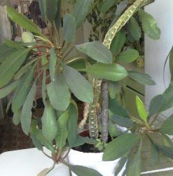Комн.растение,130см