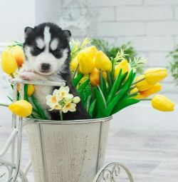 Schimbă! Catelusii Husky din Siberia!