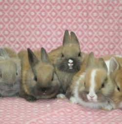 Dwarf rabbits. Vaccinated. Delivery
