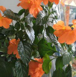 Cross-border orange with a pot.