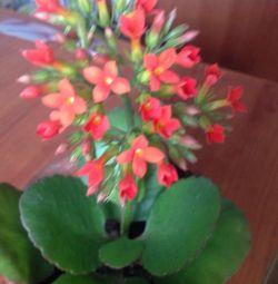 Цветок комнатный каланхоэ