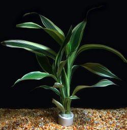 Aquarium plant Dracaena Variegatus
