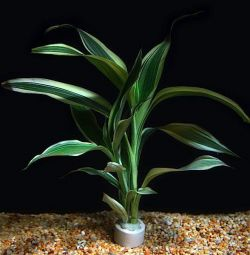 Аквариумное растение Драцена Вариегатус