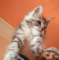 Silver Girl Maine Coon