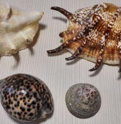 Sea Shell Lyambis Scorpio Tsipreya Tigrovaya