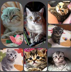 Σκωτσέζικα γατάκια