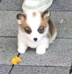 Amazing Pembroke Welsh Corgi Puppy Available