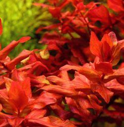Aquarium plant Rotala red