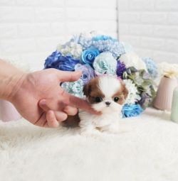 Well Trained Gorgeous Shih Tzu Puppies