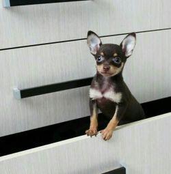 Micr, mini standard toy terriers
