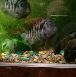 Cichlids, young