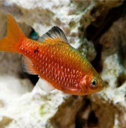 Akvaryum Balıkları Altın Barbus