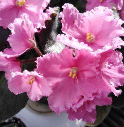 Violetele sunt încolăcite în roz, liliac deschis.